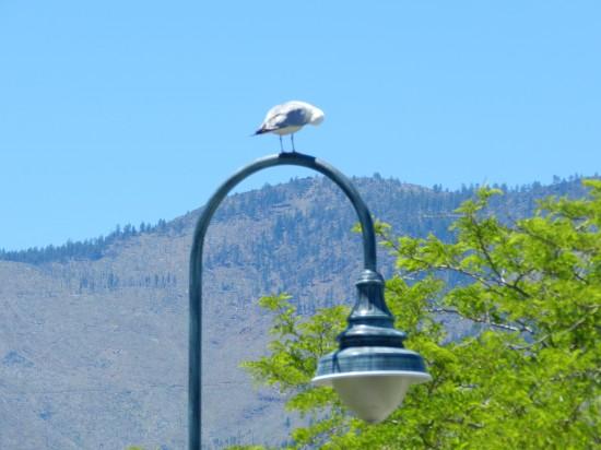 Seagull on lamp post - go figure?!