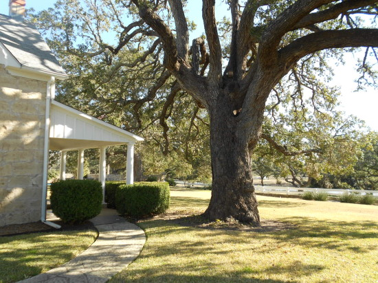 LBJ liked to conduct his meetings under the shade of this tree