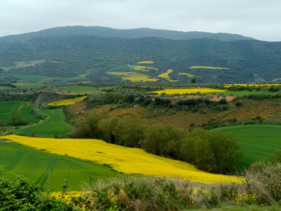 We've been told the yellow blossoms are rape seed (horrible name) and they are massed produced for the oil. Rape seed oil. Seriously, they couldn't come up with a better name?!