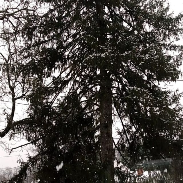 A peaceful snowfall ❄️❄️❄️ #snowday #mothernature #snow #tree #winter #winterwonderland