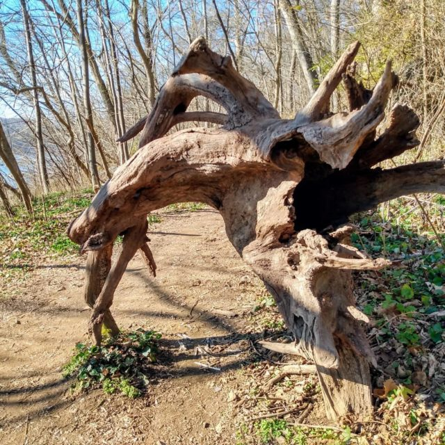 Mother Nature. Goat Trail. Great Falls. #tree #mothernature #greatfallsmaryland #visitmaryland #hiking #travel #naturephotography #postcardsfromtheworld #travelphotography #takeawalk #trails