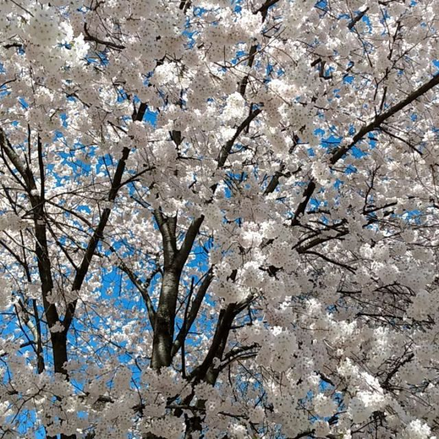 #spring #cherrytree #tree #mothernature #gentlebreeze #takeawalk #video
