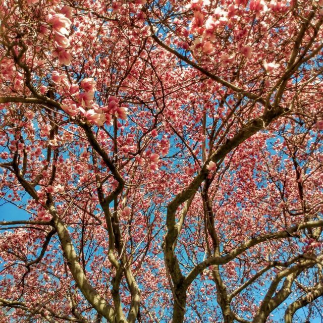 Cherry blossoms in the neighborhood. #cherryblossoms #tree #spring #picture #photography #naturephotography